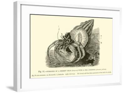 Symbiosis of a Hermit Crab--Framed Giclee Print