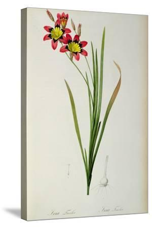 Ixia Tricolor, from `Les Liliacees', 1805-Pierre-Joseph Redout?-Stretched Canvas Print