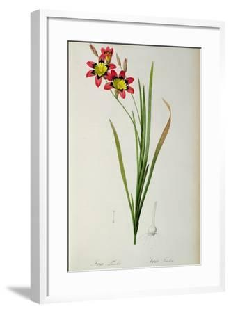 Ixia Tricolor, from `Les Liliacees', 1805-Pierre-Joseph Redout?-Framed Giclee Print