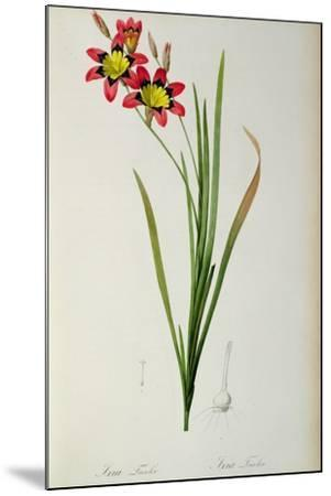 Ixia Tricolor, from `Les Liliacees', 1805-Pierre-Joseph Redout?-Mounted Giclee Print