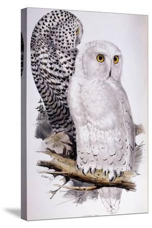 Snowy Owl, 1832-1837-Edward Lear-Stretched Canvas Print
