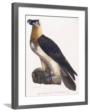 Gypaetus Barbatus Sonnini--Framed Giclee Print