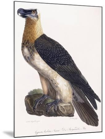 Gypaetus Barbatus Sonnini--Mounted Giclee Print