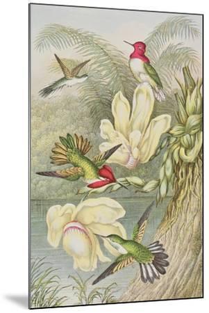 Humming Birds Among Tropical Flowers--Mounted Giclee Print