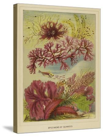 Specimens of Seaweed--Stretched Canvas Print