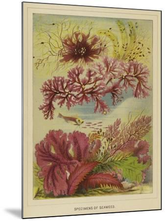 Specimens of Seaweed--Mounted Giclee Print