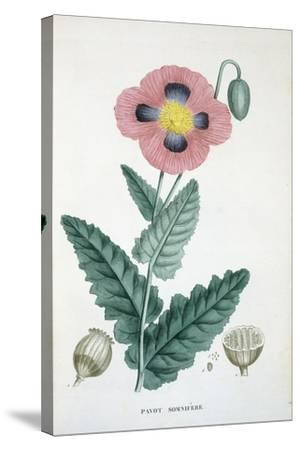 Opium-Poppy, 1805-1822--Stretched Canvas Print