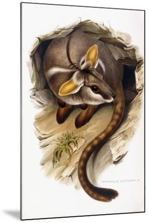 Petrogale Xanthopus--Mounted Giclee Print
