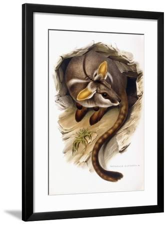 Petrogale Xanthopus--Framed Giclee Print
