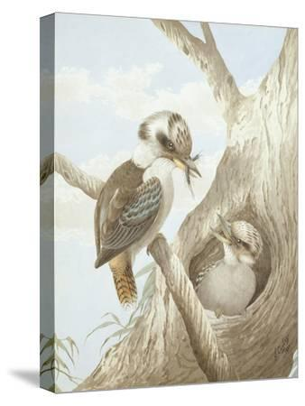 Kookaburras Feeding at a Nest in a Tree, 1892-Neville Henry Peniston Cayley-Stretched Canvas Print