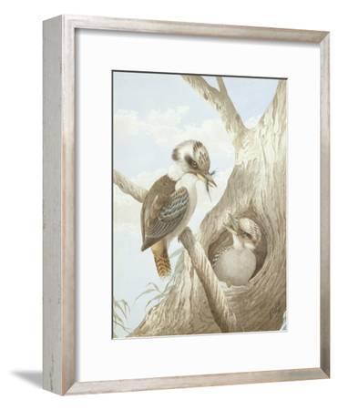 Kookaburras Feeding at a Nest in a Tree, 1892-Neville Henry Peniston Cayley-Framed Giclee Print