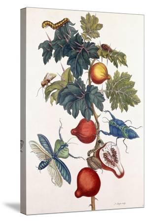 Metamorphosis of Various Insects, 1726-Pieter Sluiter Or Sluyter-Stretched Canvas Print