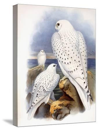 Illustration of Falcons, 1873-John Gould-Stretched Canvas Print