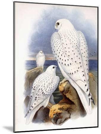 Illustration of Falcons, 1873-John Gould-Mounted Giclee Print