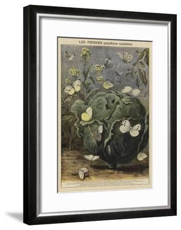Pieridae--Framed Giclee Print