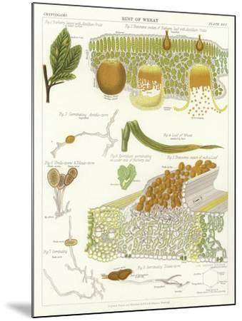 Rust of Wheat--Mounted Giclee Print
