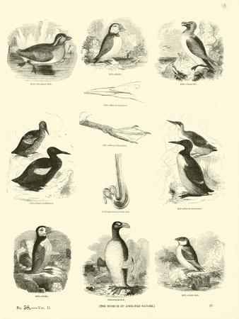 Page from the Pictorial Museum of Animated Nature--Premium Giclee Print