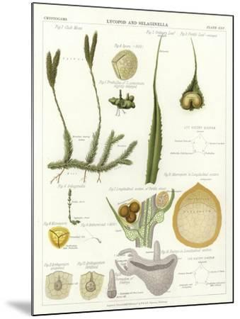 Lycopod and Selaginella--Mounted Giclee Print