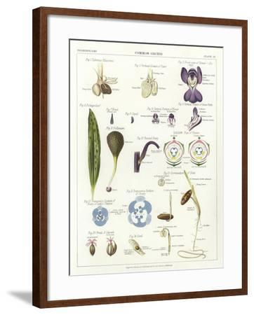 Common Orchis--Framed Giclee Print