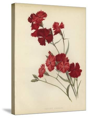 Dianthus Atkinsoni--Stretched Canvas Print