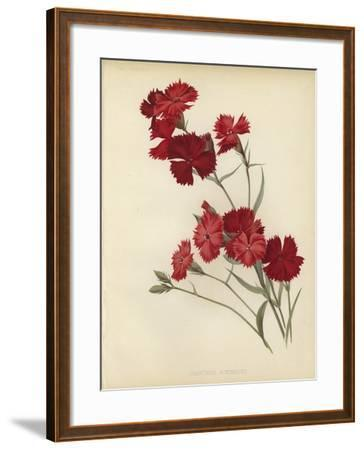 Dianthus Atkinsoni--Framed Giclee Print