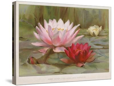 Hardy Water Lilies--Stretched Canvas Print