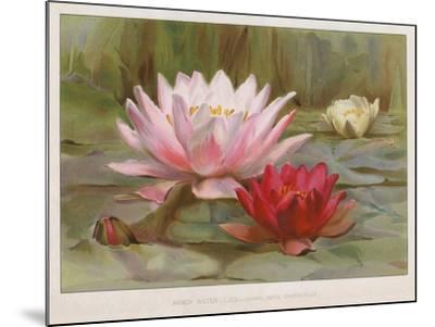 Hardy Water Lilies--Mounted Giclee Print