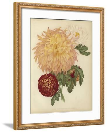 Three New Chrysanthemums--Framed Giclee Print