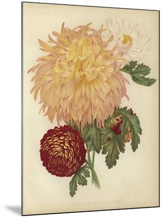 Three New Chrysanthemums--Mounted Giclee Print