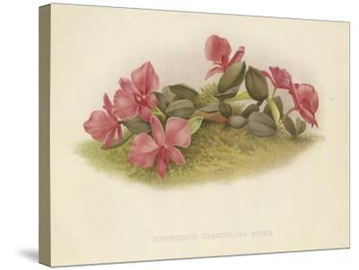 Sophronitis Grandiflora Rosea--Stretched Canvas Print
