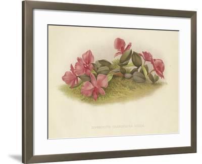 Sophronitis Grandiflora Rosea--Framed Giclee Print