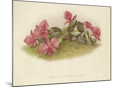 Sophronitis Grandiflora Rosea--Mounted Giclee Print