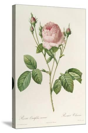 Rosa Centifolia Carnea, From'Les Roses', 19th Century-Pierre-Joseph Redout?-Stretched Canvas Print