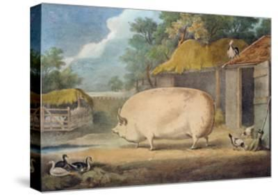 A Leicester Sow, 2 Years Old, the Property of Samuel Wiley-William Henry Davis-Stretched Canvas Print