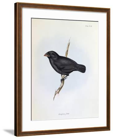 Geospiza Fortis, Illustration from 'The Zoology of the Voyage of H.M.S. Beagle, 1832-36-Charles Darwin-Framed Giclee Print