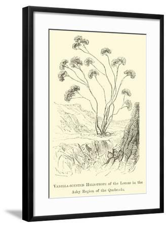 Vanilla-Scented Heliotrope of the Lomas in the Ashy Region of the Quebrada-?douard Riou-Framed Giclee Print