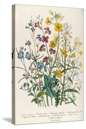 Forget-Me-Nots and Buttercups, Plate 13 from 'The Ladies' Flower Garden', Published 1842-Jane W^ Loudon-Stretched Canvas Print
