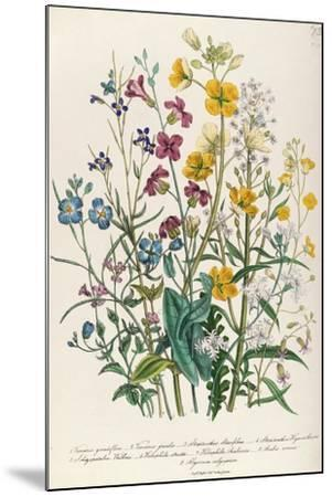 Forget-Me-Nots and Buttercups, Plate 13 from 'The Ladies' Flower Garden', Published 1842-Jane W^ Loudon-Mounted Giclee Print