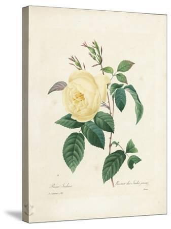 Yellow Rosa Indica-Pierre-Joseph Redout?-Stretched Canvas Print