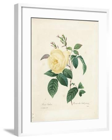 Yellow Rosa Indica-Pierre-Joseph Redout?-Framed Giclee Print