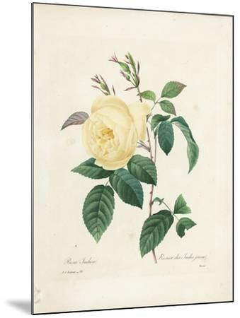 Yellow Rosa Indica-Pierre-Joseph Redout?-Mounted Giclee Print