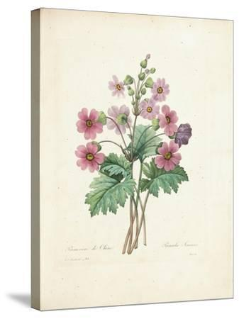 Chinese Primrose-Pierre-Joseph Redout?-Stretched Canvas Print