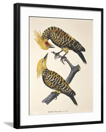 Picus Flavescens--Framed Giclee Print