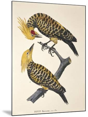 Picus Flavescens--Mounted Giclee Print