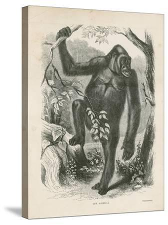 The Gorilla, Frontispiece for Explorations and Adventures in Equatorial Africa by Paul B Du Chaillu--Stretched Canvas Print