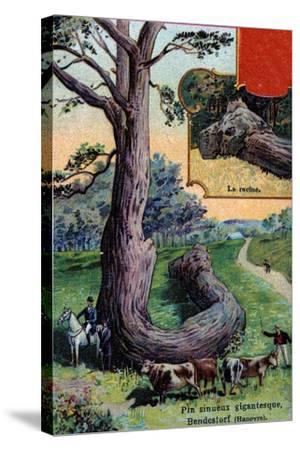 Giant Sinuous Pine Tree and its Root, at Bendestorf, Near Hanover, Germany, 1901--Stretched Canvas Print
