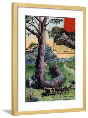 Giant Sinuous Pine Tree and its Root, at Bendestorf, Near Hanover, Germany, 1901--Framed Giclee Print