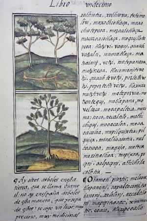 Trees, Wild Cypresses and Firs, Page from Florentine Codex--Stretched Canvas Print