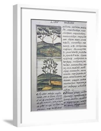Trees, Wild Cypresses and Firs, Page from Florentine Codex--Framed Giclee Print