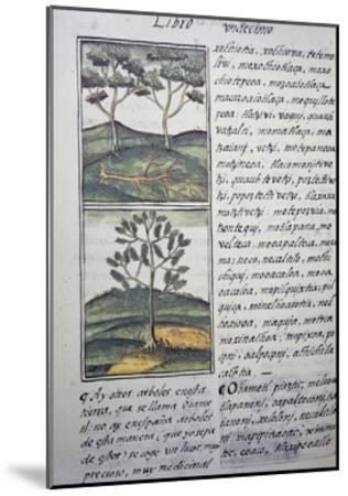 Trees, Wild Cypresses and Firs, Page from Florentine Codex--Mounted Giclee Print